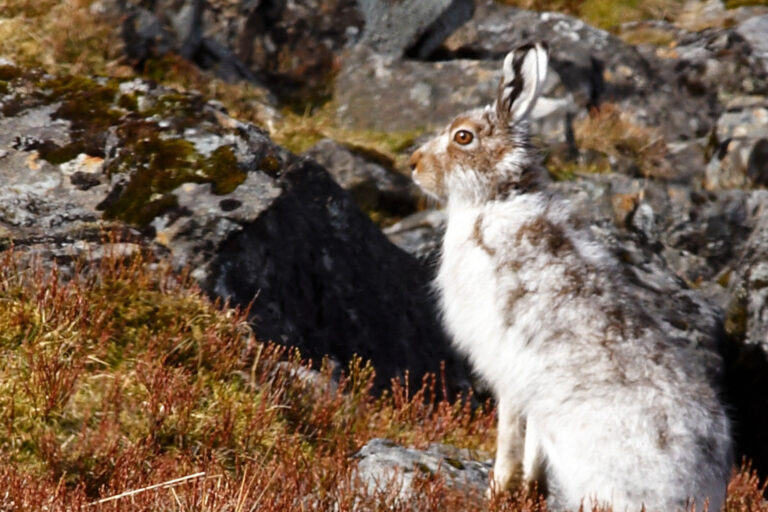 Scottish mountain hare
